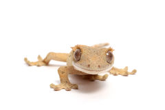 Crested Gecko Stock Image