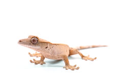 Crested Gecko Stock Images