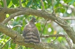 Crested Goshawk (Accipiter trivirgatus) Royalty Free Stock Photography