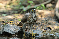 Crested Goshawk drinking water Royalty Free Stock Photography