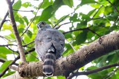 Crested Goshawk perching on tree Stock Image