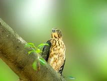 Crested Goshawk a raptor eagle bird Stock Photos