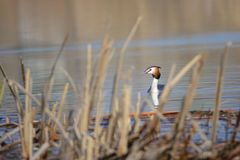 Crested grebe Stock Photo