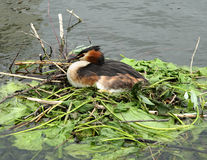 Crested Grebe. Sitting on a Nest of leaves and twigs on a River Stock Photos