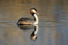 Crested Grebe. Great Crested Grebe cleaning his feathers in water Royalty Free Stock Photography
