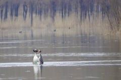 crested grebe Стоковые Фотографии RF