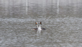 Crested grebe Royalty Free Stock Images