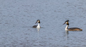 Crested grebe Royalty Free Stock Image