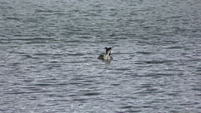 Crested Grebe eating stock video