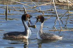 Courtship dance from grebe birds. Crested Grebe stock photo
