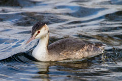 Crested Grebe Stock Image