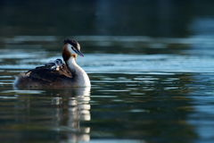 Crested grebe, podiceps cristatus, duck and baby Royalty Free Stock Photo
