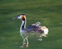 Crested grebe, podiceps cristatus, duck and baby Stock Photos