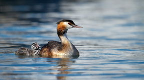 Crested grebe, podiceps cristatus, duck and baby Royalty Free Stock Photos