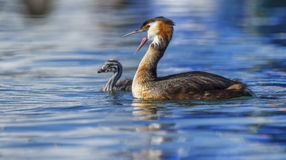 Crested grebe, podiceps cristatus, duck and baby Stock Image