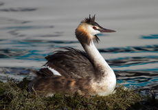 Crested grebe, podiceps cristatus, duck brooding Stock Photos