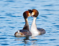 Crested grebe (podiceps cristatus) duck courtship Royalty Free Stock Image