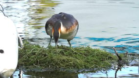 Crested grebe, podiceps cristatus, duck on nest stock video