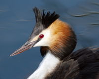 Crested Grebe (podiceps Cristatus) Duck Portrait Royalty Free Stock Image