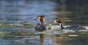Crested grebe, podiceps cristatus, ducks and baby Stock Images