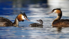Crested grebe, podiceps cristatus, ducks family Royalty Free Stock Images