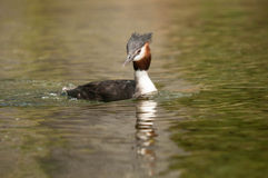 Crested Grebe (southern) Stock Photos