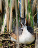 Crested Grebe With Hatchling Royalty Free Stock Photo