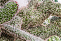 Crested green cactus Royalty Free Stock Photo