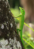 Crested green lizard on tree trunk. This species is a bright green lizard, sometimes possessing a blue tint on the head. It is able to change color, turning Stock Photo
