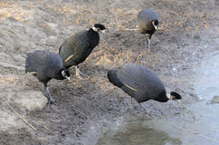 Crested guinea fowl Stock Photography