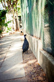 Crested Guineafowl bird Royalty Free Stock Image