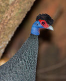 Crested Guineafowl close-up Stock Photography