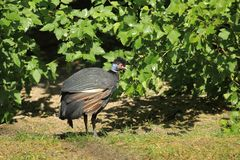 Crested guineafowl stock images
