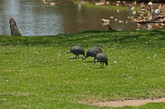 Crested guineafowl in Johannesburg zoo Royalty Free Stock Images