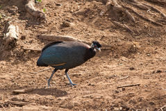 Crested Guineafowl Stock Image