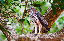 Crested Hawk Eagle Stock Images
