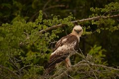 Crested hawk eagle nisaetus cirrhatus locally fairly common breeding resident throughout stock photography