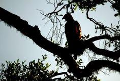 Crested Hawk-Eagle. (Nisaetus cirrhatus) in Silhouette on Branch, Yala National Park, Sri Lanka Royalty Free Stock Images