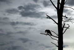 Crested Hawk-Eagle Silhouette Stock Image