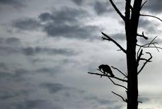 Crested Hawk-Eagle Silhouette. Crested Hawk-Eagle (Nisaetus cirrhatus) in Silhouette on Branch, Bundala National Park, Sri Lanka Stock Image