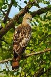 Crested Hawk Eagle, Spizaetus cirrhatus ceylanensis, beautiful bird of prey from Sri Lanka. Raptor in the nature habitat. Bird of Stock Image