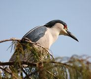 Crested Heron. Crested perched heron  - side view Royalty Free Stock Photos