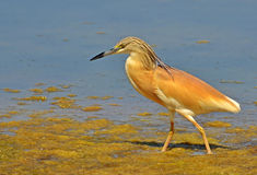 Crested heron in marsh Stock Photo