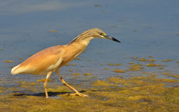 Crested heron walking in the marsh Stock Images