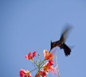 crested hummingbird Стоковое Изображение RF