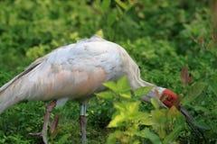 Crested ibis, одичалый фураж, Стоковое Изображение RF