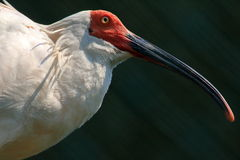 Crested ibis,. Nagisa lake 2015.09.11 photography in China, zhejiang province royalty free stock photo