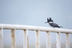 Crested Kingfisher Stock Images