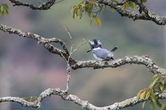 Crested Kingfisher Royalty Free Stock Photos