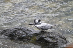 Crested Kingfisher Royalty Free Stock Images